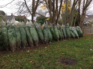christmas_trees_lined_up